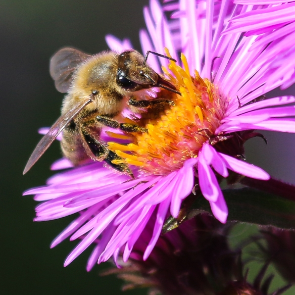 bumble bees-on-new-england-aster-