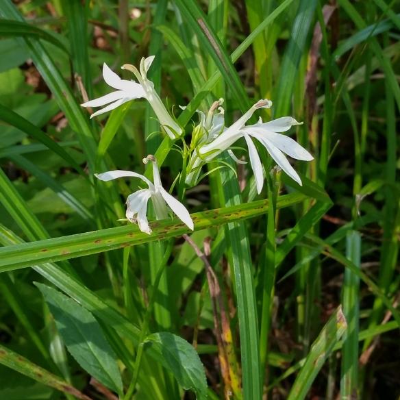white cardinal flower-Lobelia cardinalis