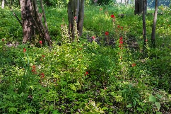 cardinal flower-Lobelia cardinalis-