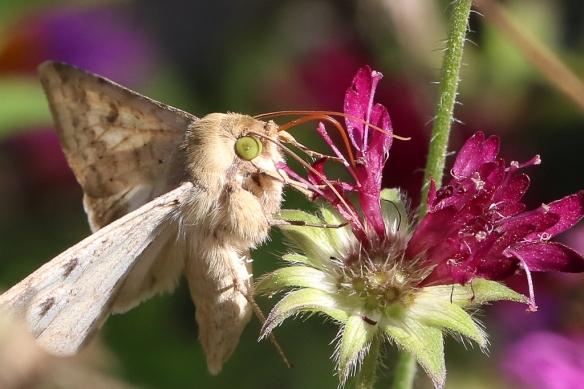 Corn earworm moth, Helicoverpa zea
