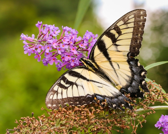 eastern tiger swallowtail-