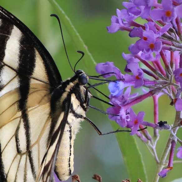 eastern tiger swallowtail-feeding on butterfly bush (Buddleya species)
