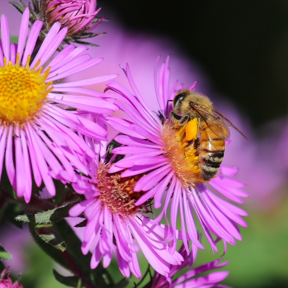 honeybees-on-new-england-aster