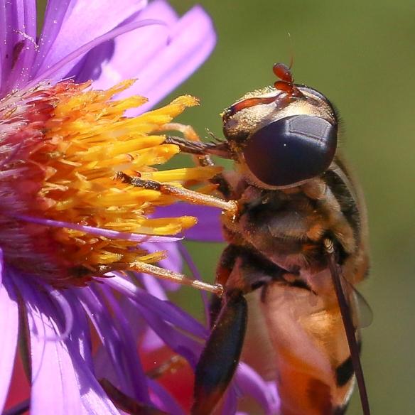 Hoverfly -Heliophilous fasciatus?