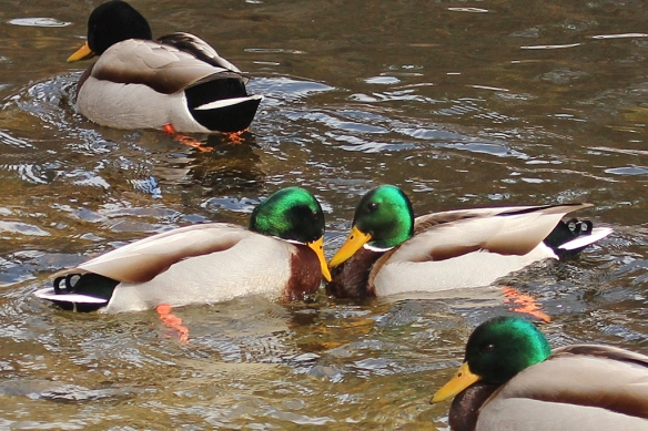 mallard-males-displaying-