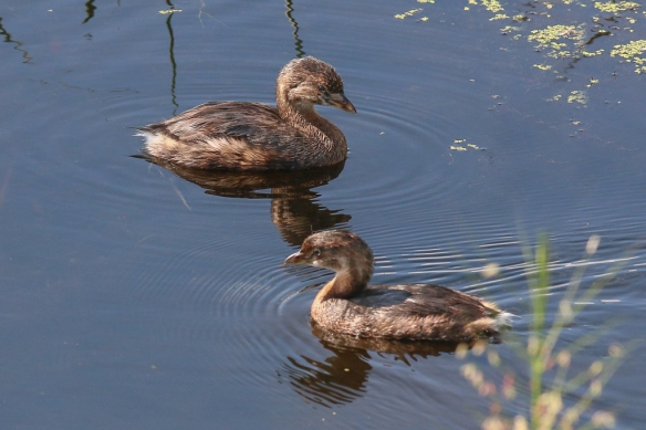 pied-billed grebe-basic, non-breeding plumage