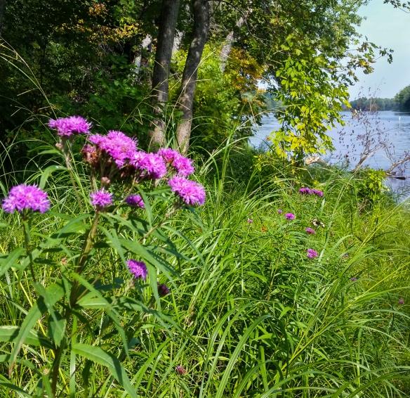 Prairie Ironweed - Veronia fasiculata-