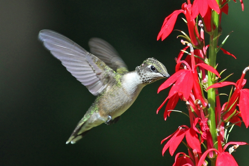 ruby-throated-hummingbird-on-cardinal-flower-1