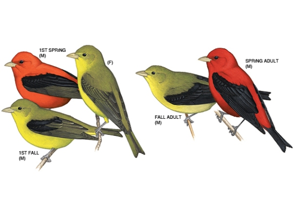 scarlet tanager plumage molts