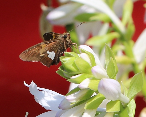 silver spotted skipper-