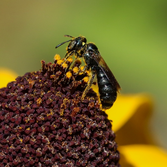 small carpenter bee Ceratina spp.-