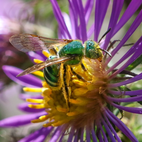 Sweat bee (Halictidae)-