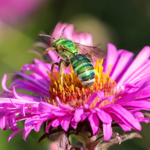Green Sweat bee (Halictidae)-