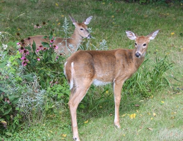 White=tailed fawns-fall molt-
