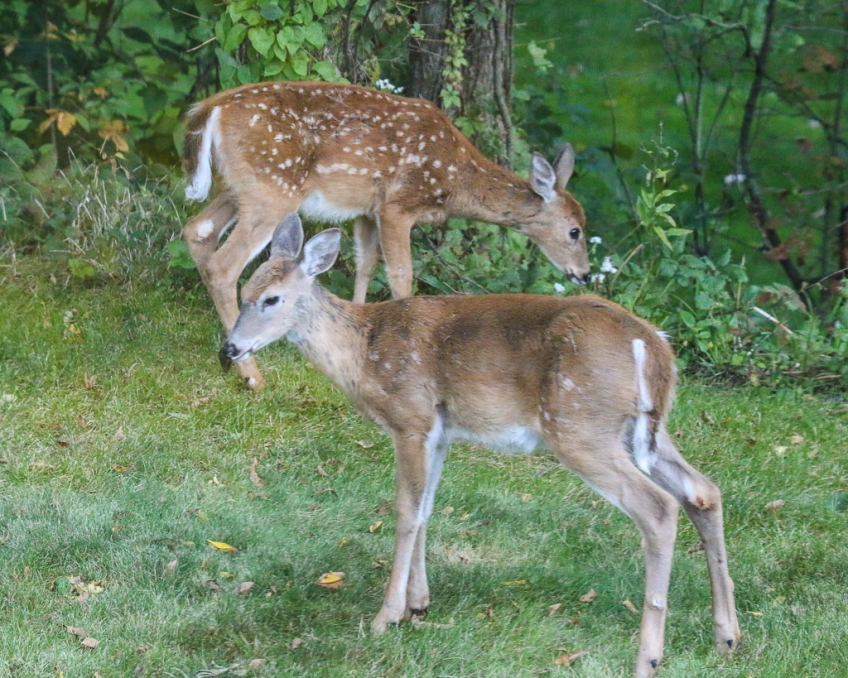 White-tailed fawns - winter molt