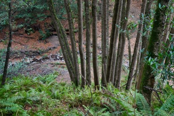 multiple stems of California bay laurel