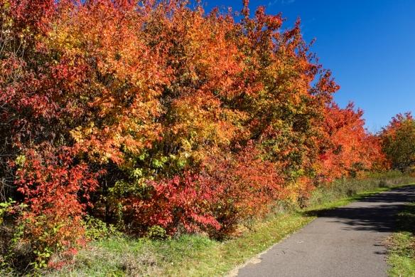 amur-maple-forest-