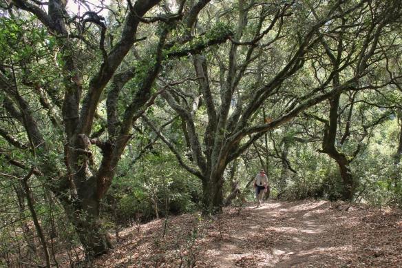 California Live Oak, Huckleberry Botanical Preserve, Oakland CA