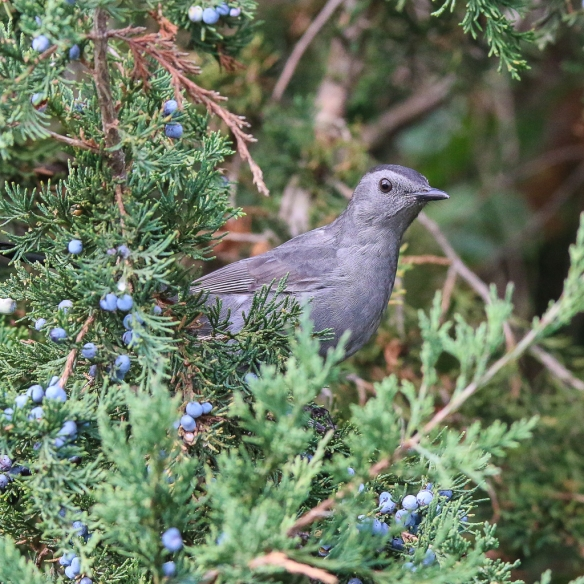 Catbird and juniper berries