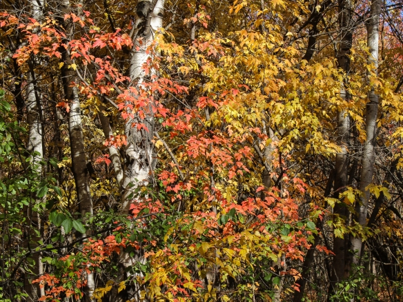 fall color - Amur Maple-