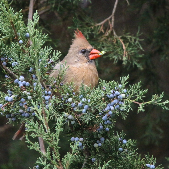 Female cardinal eating juniper berries-3