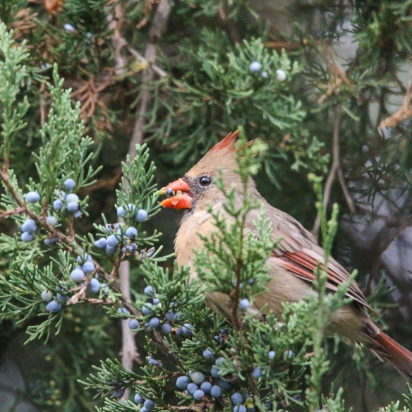 Female cardinal eating juniper berries-5