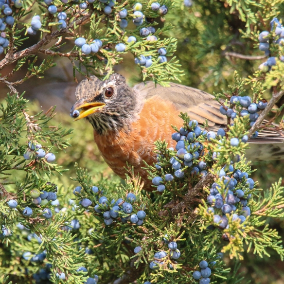 Robins eating juniper berries-2