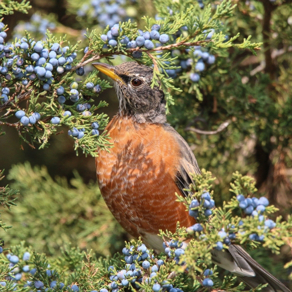 Robins eating juniper berries-4