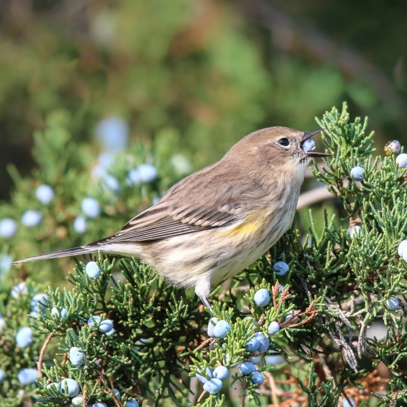 Yellow-rumped Warbler eating juniper berries-3