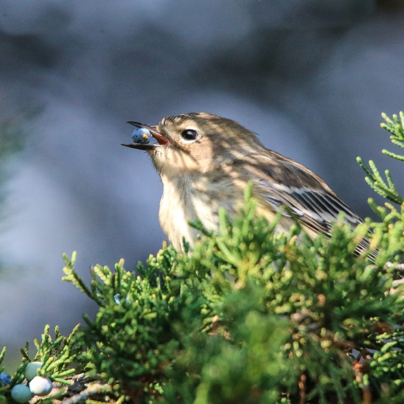 Yellow-rumped Warbler eating juniper berries