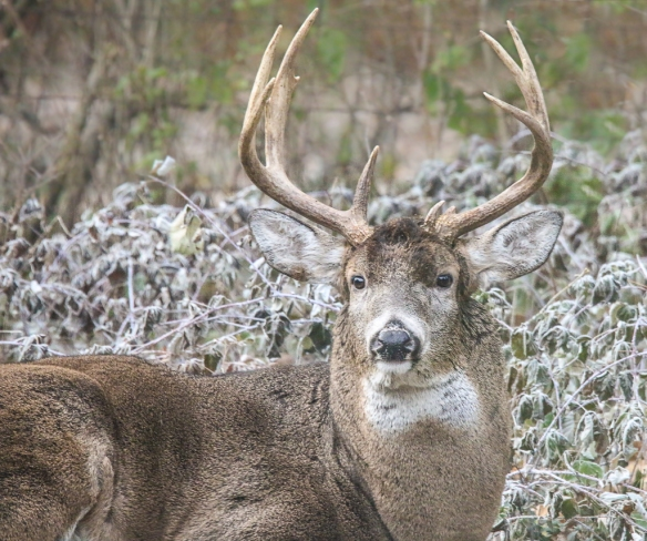 buck with big antlers-