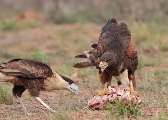 harris hawk- crested caracara interaction