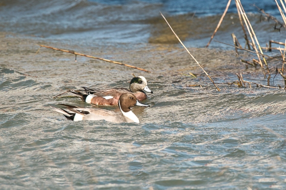 Northern Pintail-American Wigeon