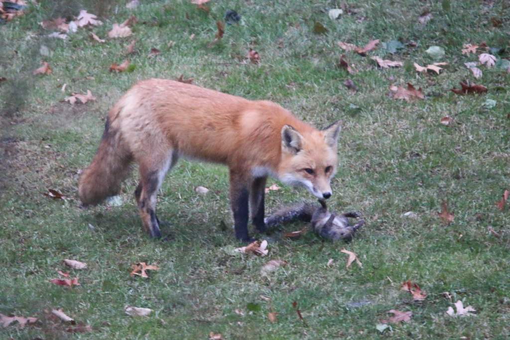 red fox with gray squirrel kill-