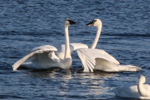 trumpeter swan courtship behavior