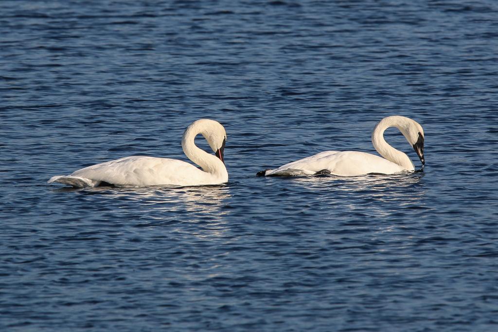 trumpeter swan courtship behavior