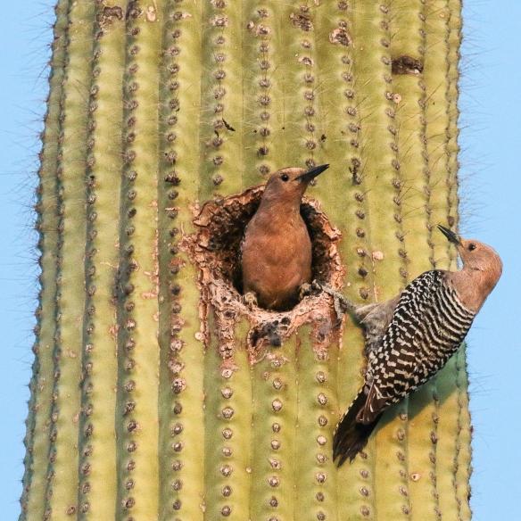 Gila Woodpeckers at their nest, Tucson, AZ