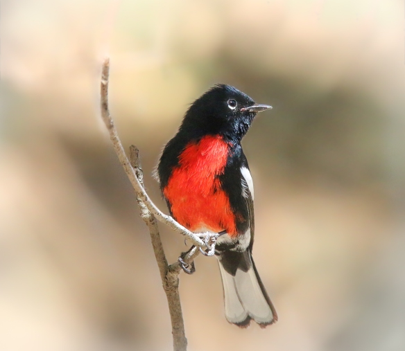 Painted Redstart (or Whitestart), Portal AZ