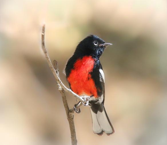 Painted Redstart (or Whitestart), Portal AZ