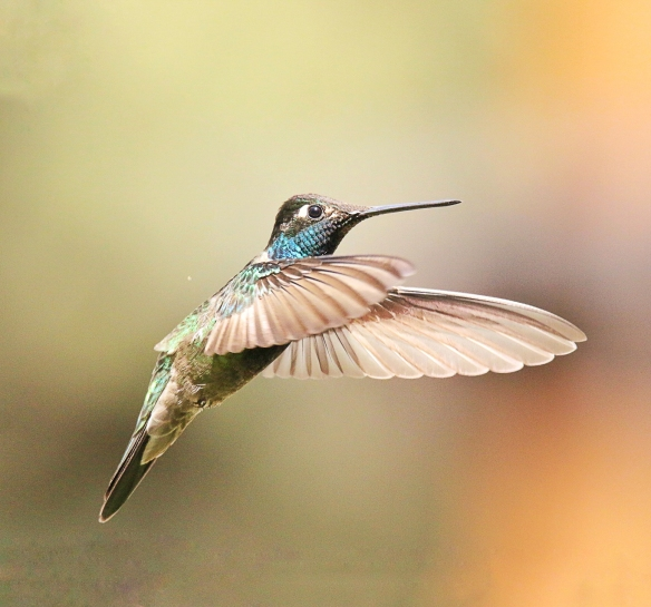 Magnificent Hummingbird-Santa Rita Lodge, AZ
