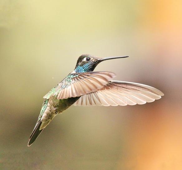 Magnificent Hummingbird-Santa Rita Lodge, AZ