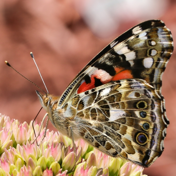 american-painted-lady-on sedum