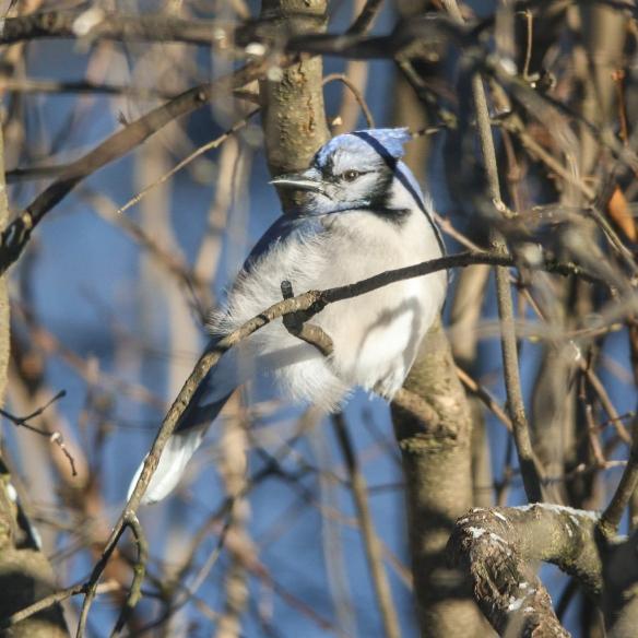 basking blue jay-
