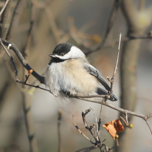 basking chickadee-