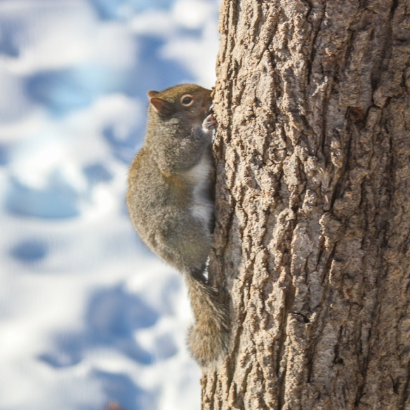 basking gray squirrel-
