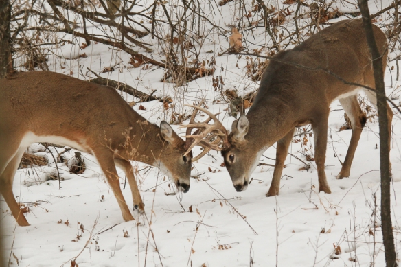White-tailed deer bucks