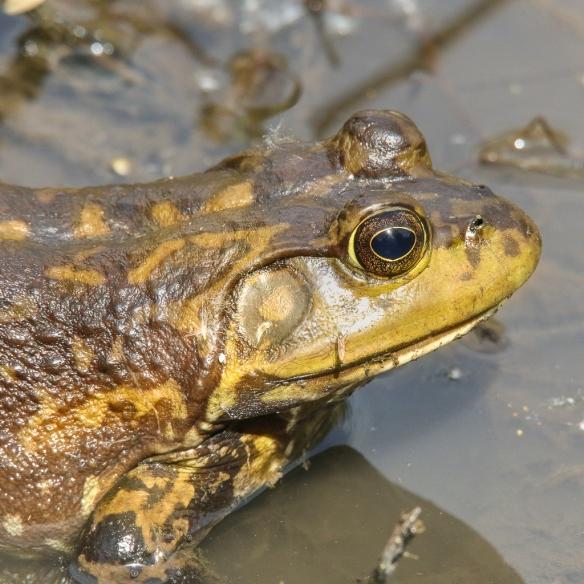 bullfrog-