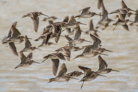 Long-billed Dowitchers-Laguna Vista TX-