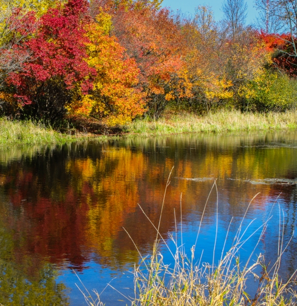 Amur maple fall color