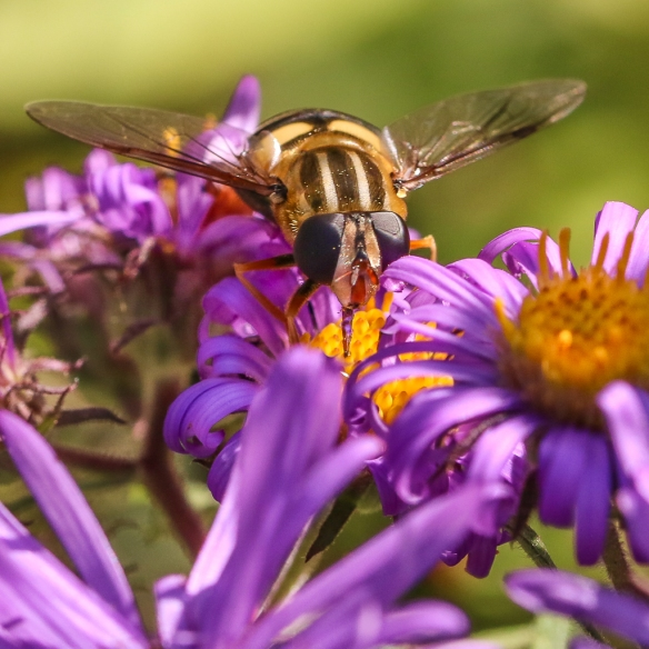 hoverfly-on coneflower